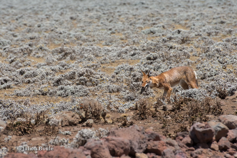 Ethiopian Wolf 14 Bale Mountains - Wolves - Loups