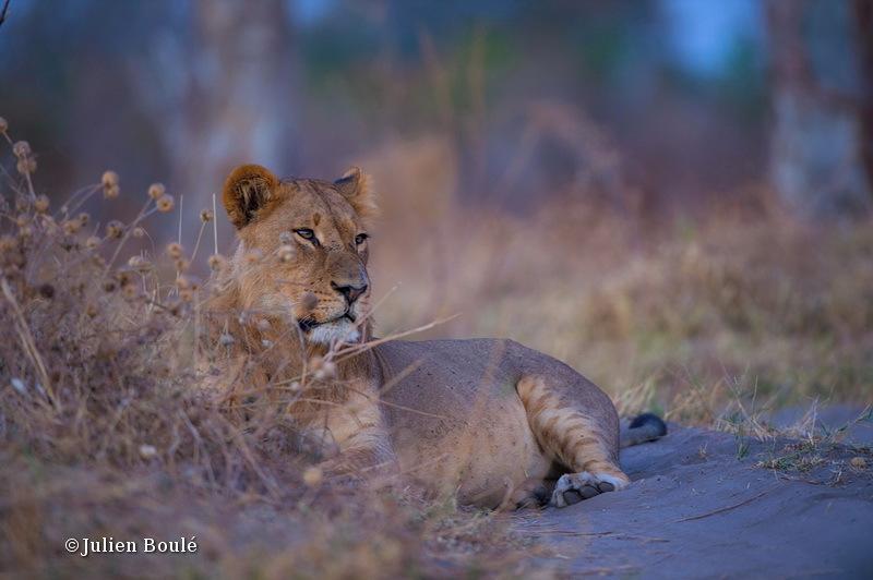 Lion of Savuti 3 - Lions