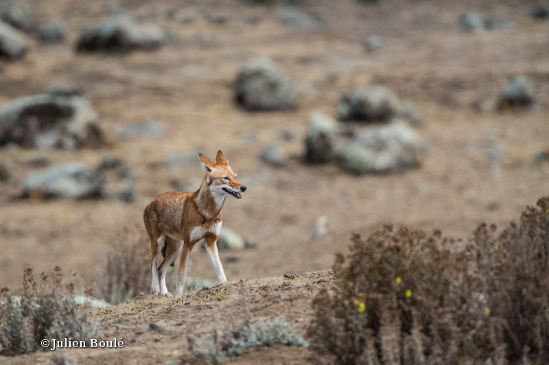 Ethiopian Wolf 18 Bale Mountains - Wolves - Loups