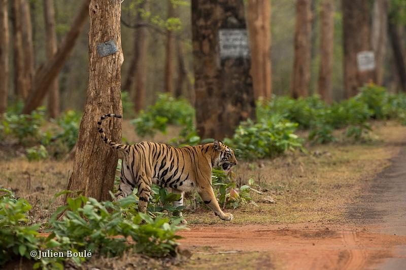 Tigress of Telia cubs #9 - Tigers - Tigres