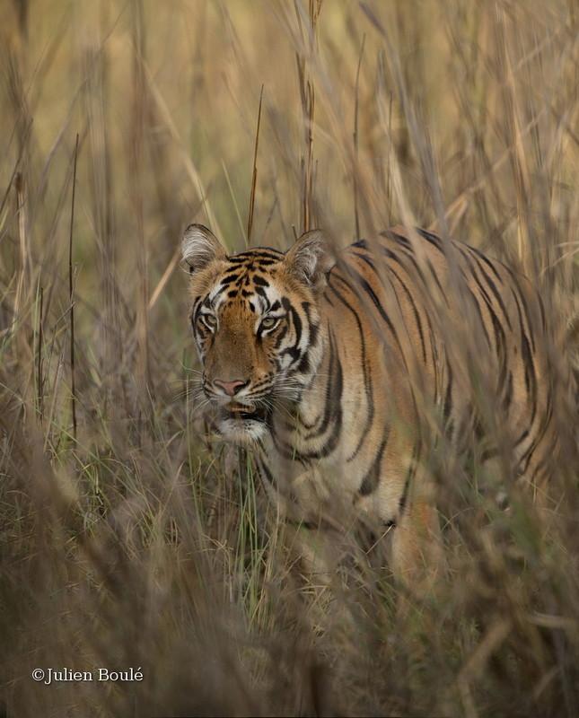 Tigress of Telia cubs #4 - Tigers - Tigres