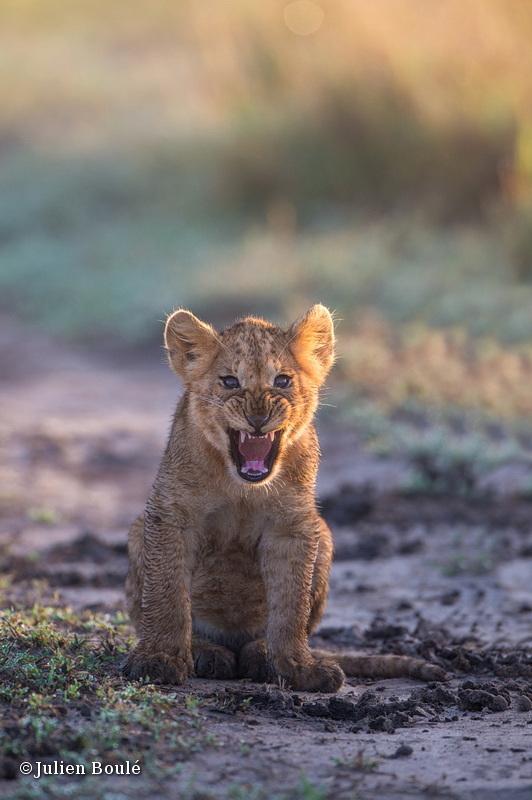 Lion Masai Mara 2013 17 cub - Lions