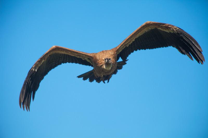 Eurasian griffin vulture, extremadura, spain