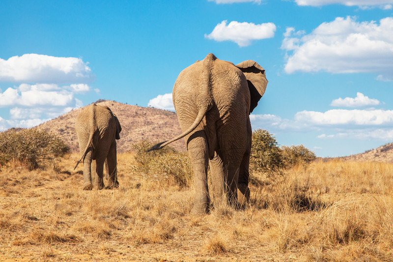 elephants at pilansberg in south africa