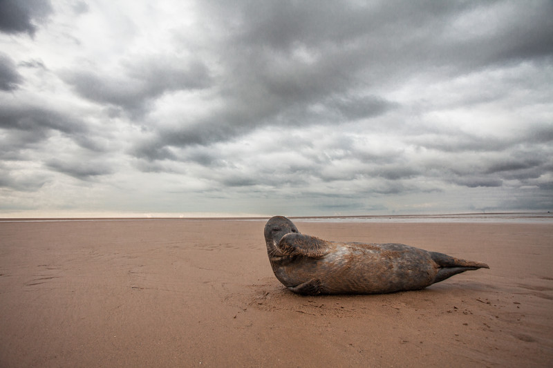a grey seal at donna nook, Lincolnshire.