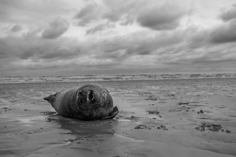 grey seal, donna nook, lincolnshire