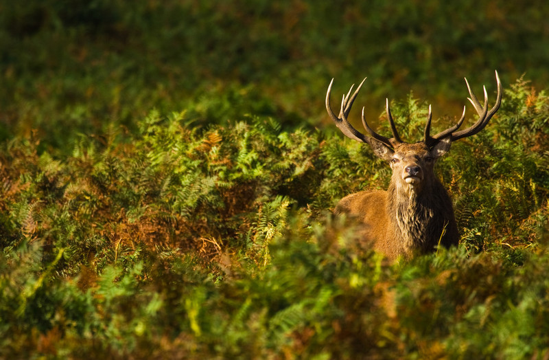 proud stag during the rut