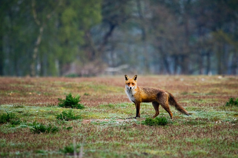 a red fox on a heath in lincolnshire