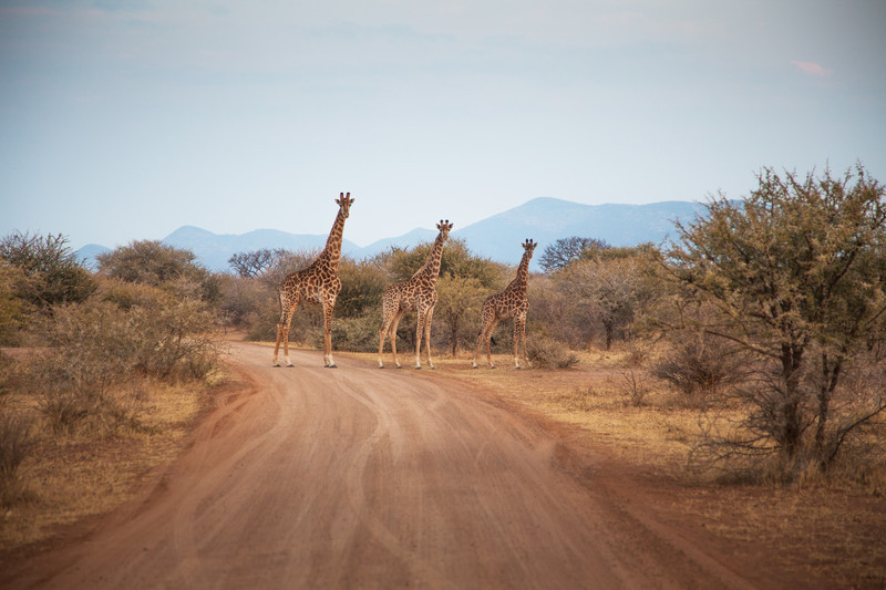 Giraffes of Marakele South Africa
