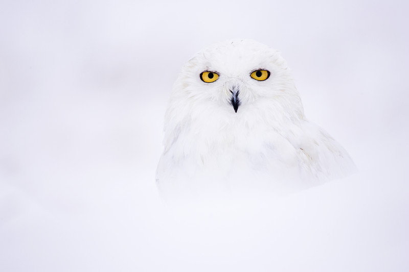 snowy owl in thick snow,