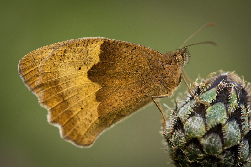 brown skipper, kent, macro photography