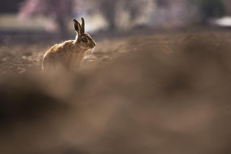 a single hare in a field, lincolnshire