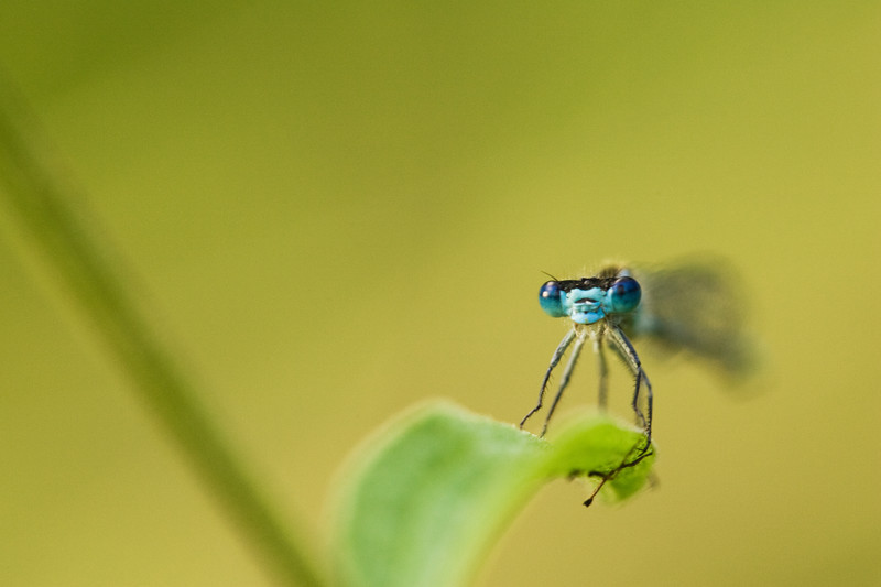 damselfly, kent , macro photography