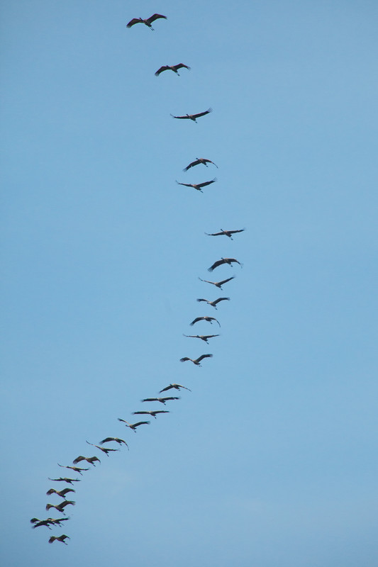 common crane's in spain