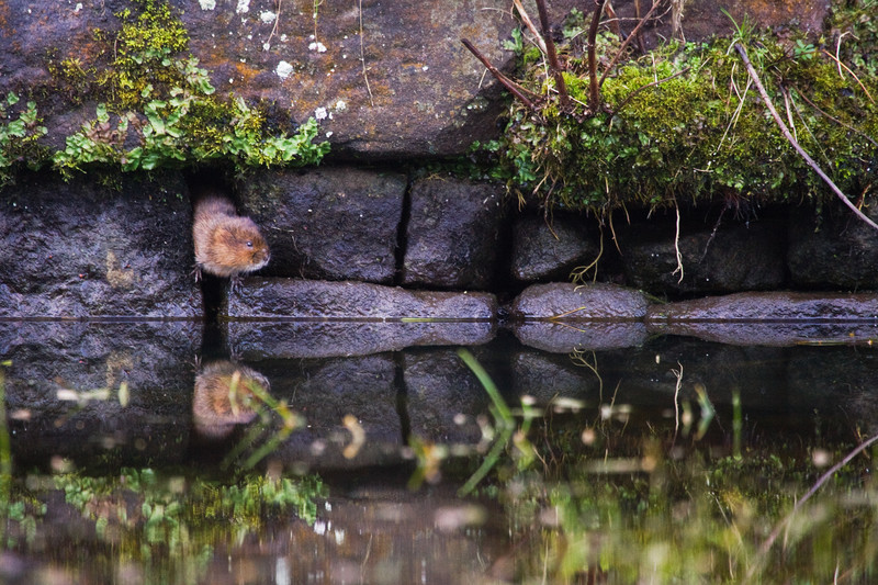 a water vole, cromford canal, derbyshire