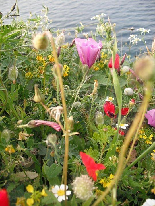 - Greek Wildflowers