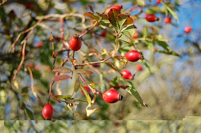 Rosehips in the field below the house - Ground Zero - November 2012