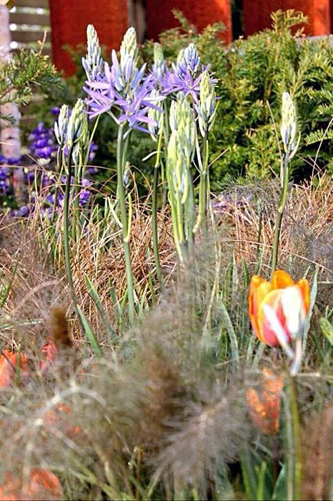 Camassia, tulips, bronze fennel - Harrogate Spring Water 'Secret Garden'