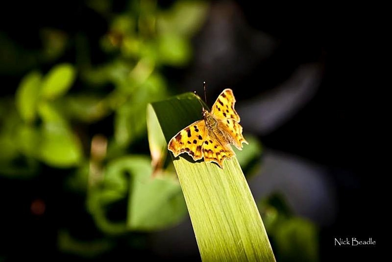 Butterfly - Fauna