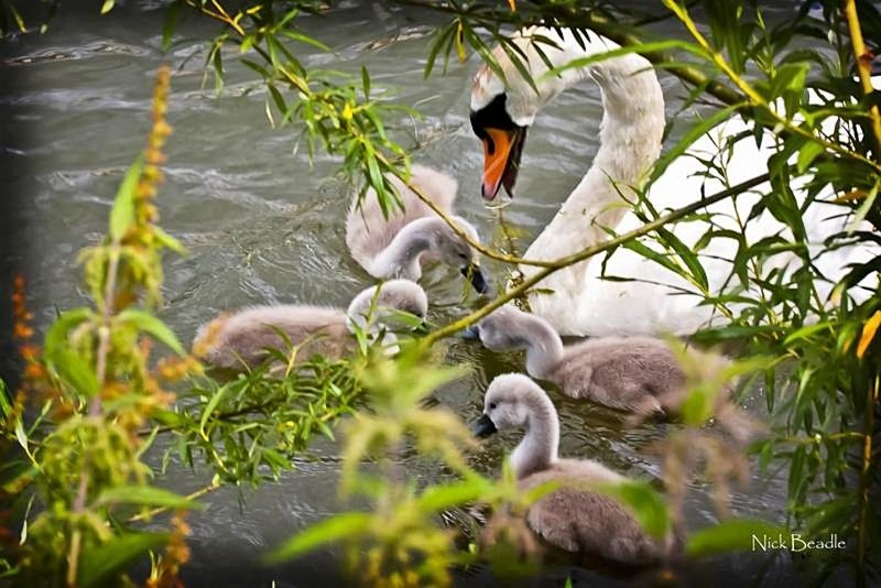 Family of Swans - Fauna