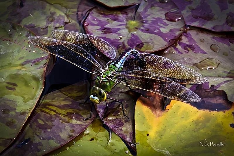 Dragonfly on a Lily-Pad - Fauna