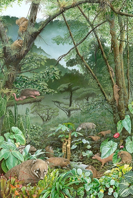 Cloudforest Coati (A2 Size) - Original Illustrations