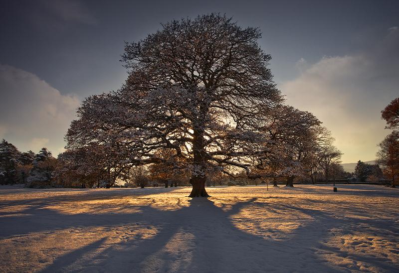 The Old Oak Tree - Co Down