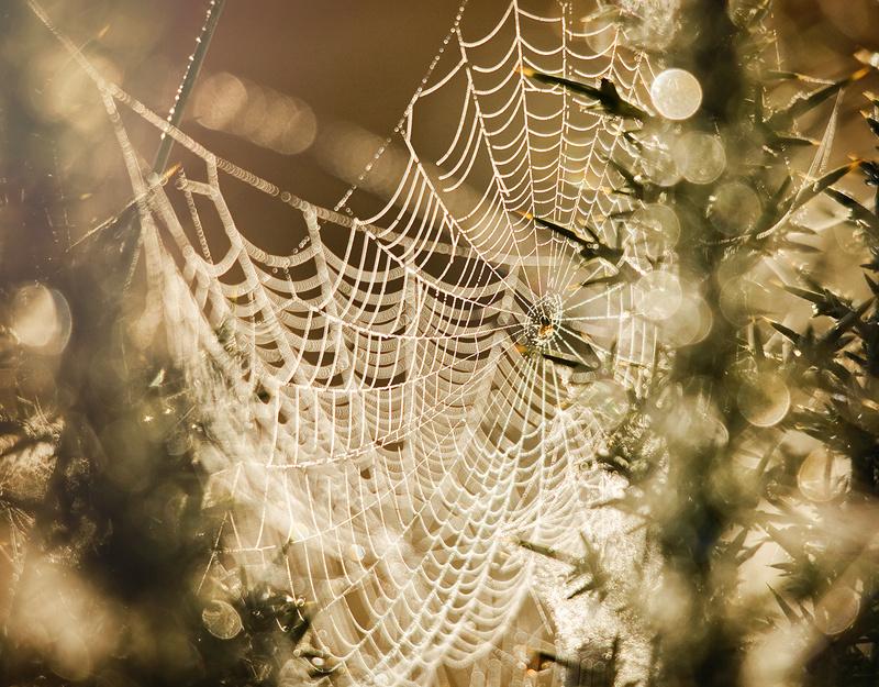 Morning Cobwebs - Co Down