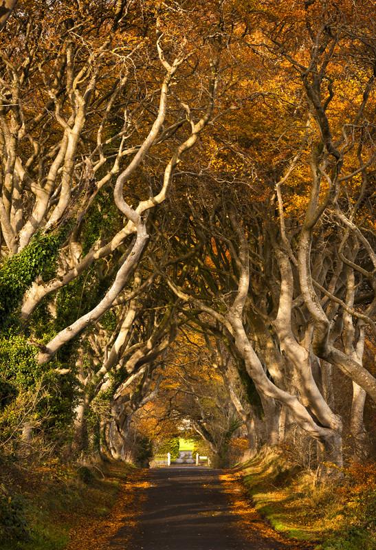 The Dark Hedges in Autumn - Co Antrim