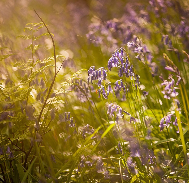 Bluebells in Sunlight - Co Down