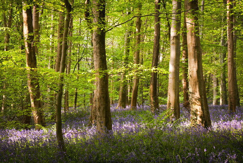 Bluebell Woods - Co Down