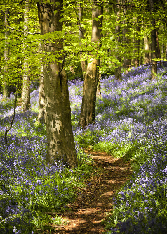 Bluebell Path - Co Down