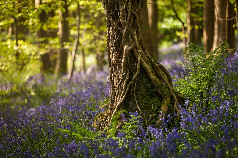 In Among the Bluebells - Co Down