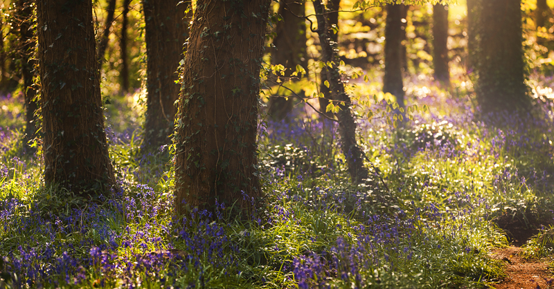 Bluebells - Co Down
