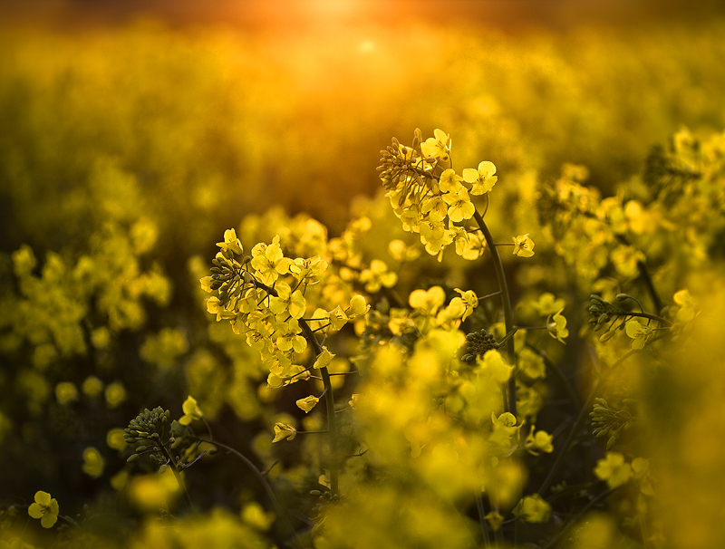 Rapeseed at Sunset - Co Armagh