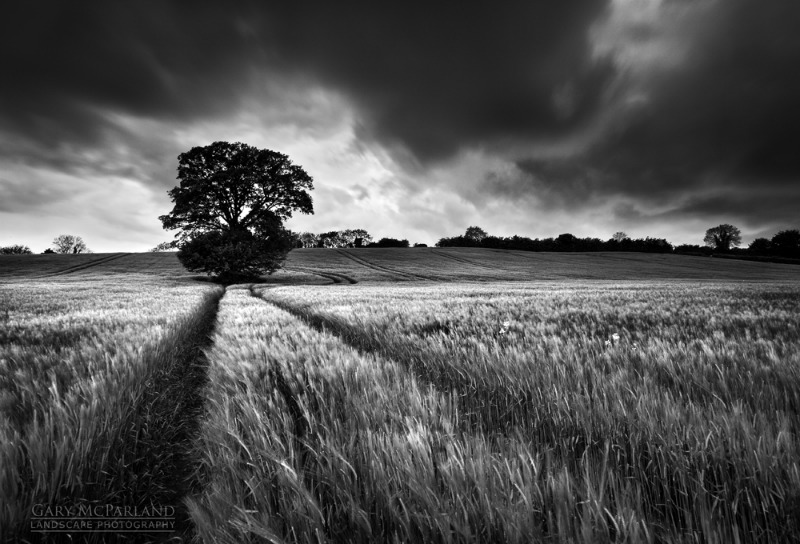The Barley Field - Black & White