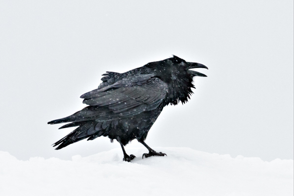Raven in Snowstorm - Local Attractions