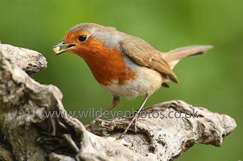 Robin Feeding - British Birds