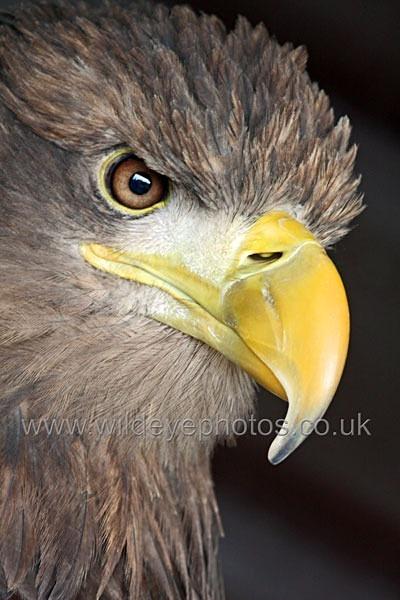 White Tailed Sea Eagle - Birds Of prey