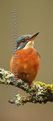 Kingfisher Watching - Panoramic & Slim Prints