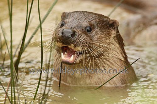 Laughing Otter - British Wildlife