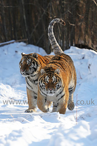 Pair Of Tigers Running - Tigers