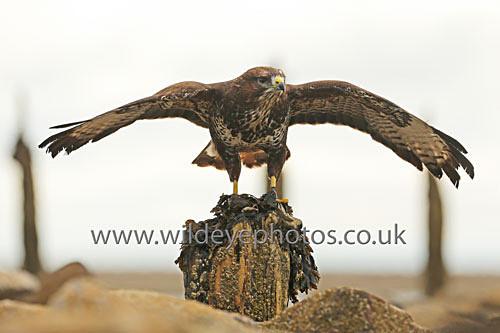 Buzzard On A Post - Birds Of prey