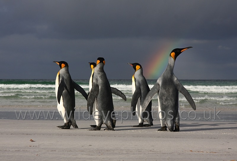 Rainbow Kings - Penguins
