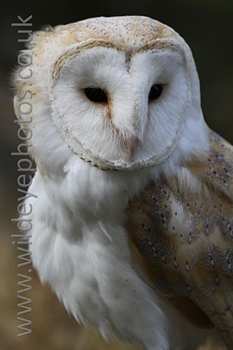 Ruffled Barn Owl - Owls