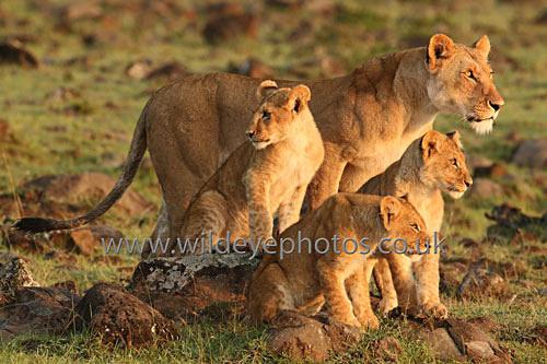 Lion Family Lookout - Lions
