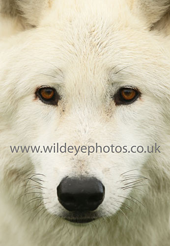 Arctic Close Up - Wolves