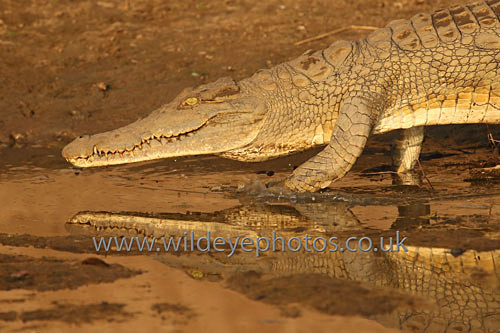 Nile Croc - Reptiles, Amphibians & Insects