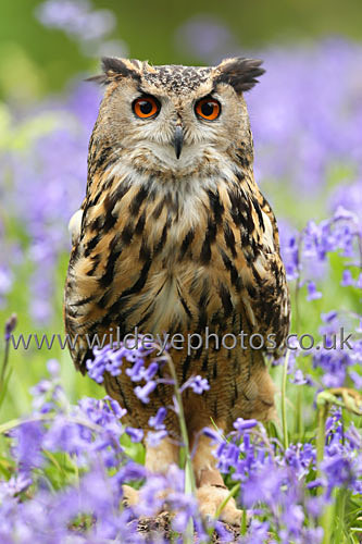 Eagle Owl In The Bluebells - Owls