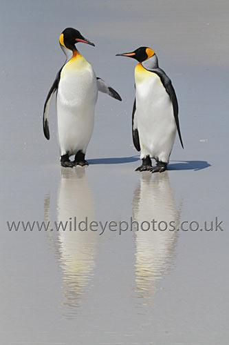 Pair Of Kings II - Penguins